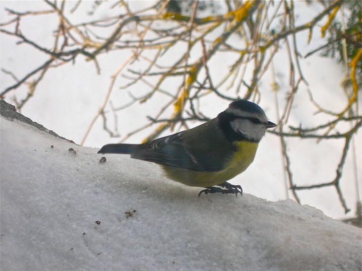 During the winter birds look for the sunflower seeds we give them.